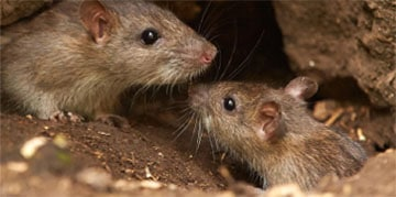 Muizen herkennen muizensoorten