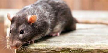 Ratten herkennen