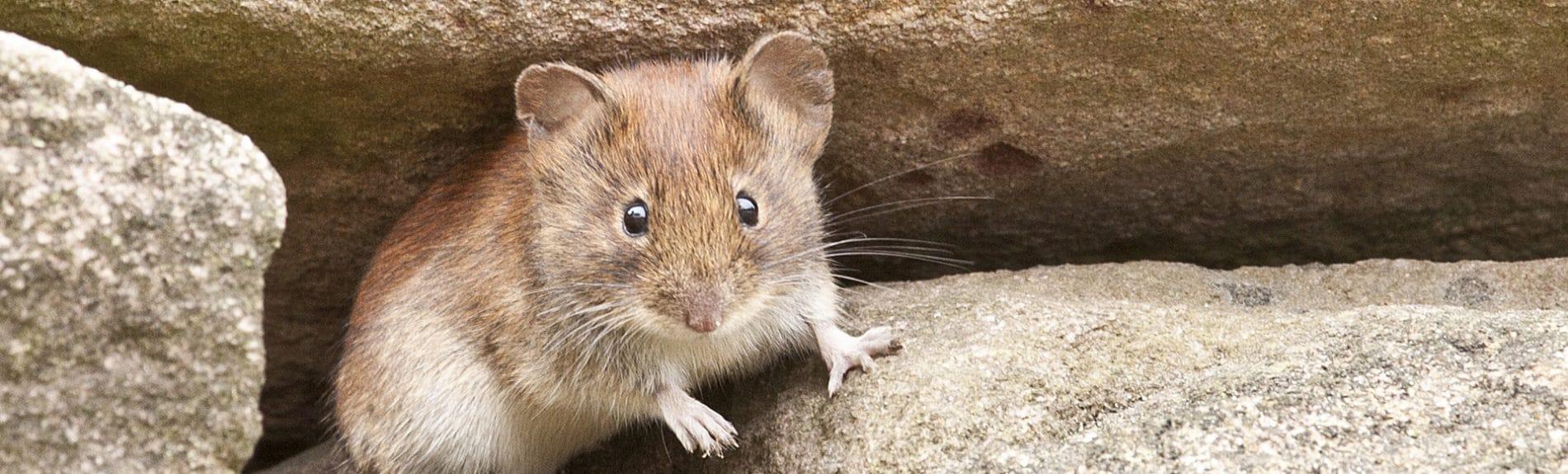 Vermex Muizenbestrijding - Muizenplaag - Muizen