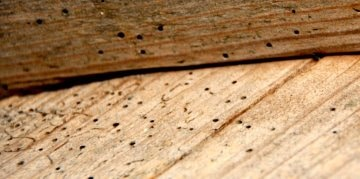 Vermex Houtwormbestrijding - boktor - houtworm - houtwormkever
