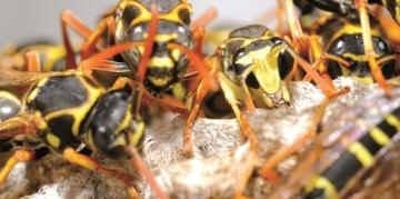 Vermex Wespenbestrijding - wespennest - hoornaars