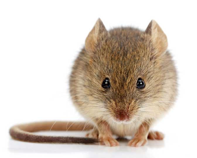 Soorten muizen herkennen Huismuis (Mus musculus ssp. domesticus)