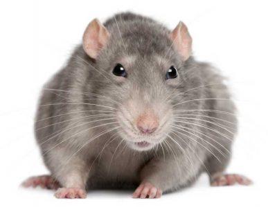 grijze rat rattenoverlast rattenbestrijding