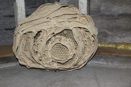 Oud hoornaars nest